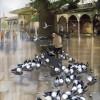 Faruk Cimok istanbul resimleri, faruk cimok güvercin resimleri